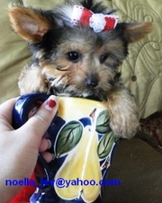 two lovely yorkie puppies for adoption